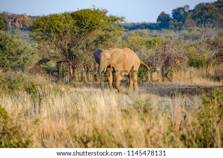 Elephant in South Africa national park #1145478131