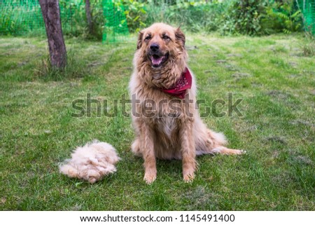 A big fluffy happy dog is sitting after shedding the wool outdoors. #1145491400