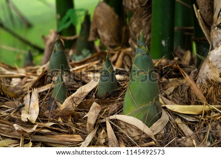 Bamboo shoot, Bamboo sprout  #1145492573