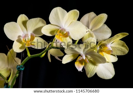 Yellow orchid on dark background. Horizontal position. #1145706680