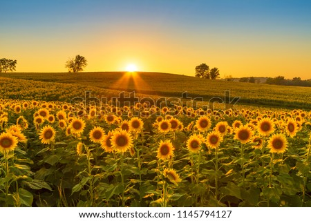 Sunset shining on a sunflower field in the Midwest of the United Stated. #1145794127