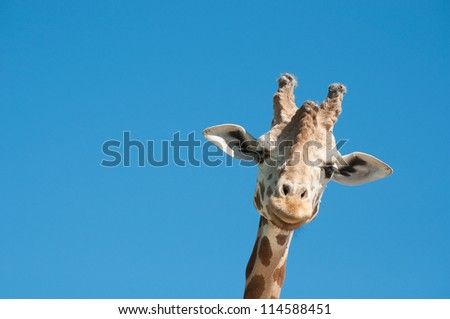 Giraffe head #114588451