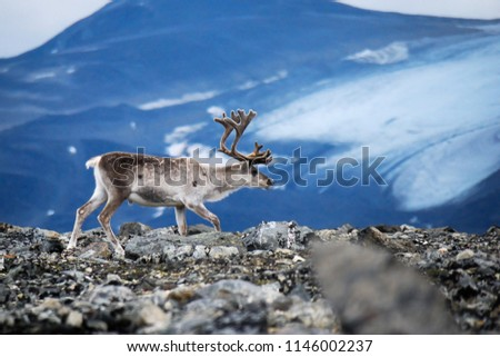 White european reindeer with glacier and mountains as a background. The reindeer (Rangifer tarandus) is a species of deer with circumpolar distribution. Jotunheimen National Park, Norway. #1146002237