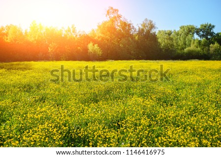 Summer landscape with textured sky and grazing herd of cows on the field, overgrown with yellow flowers. Background #1146416975