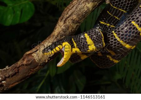 Venomous Mangrove Snake #1146513161