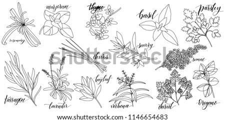 Set of popular culinary herbs with hand written names. Rosemary, majoram, thyme, basil, parsley, chives, savory, sumac, tarragon lavender bay leaf verbena chervil oregano #1146654683