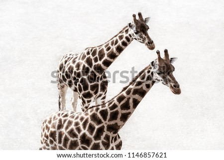 A beautiful couple of walking giraffes (Giraffa Camelopardalis) portrait isolated on white rocky ground background. Birds or drone view image. #1146857621