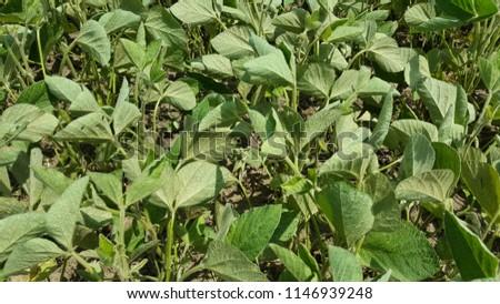 Spider mites in soybeans #1146939248