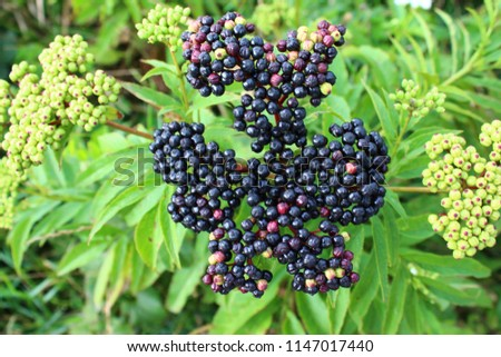 Close up of ripe and unripe elderberries on green leaf background #1147017440