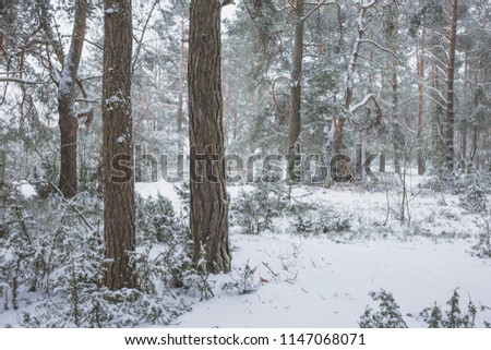 Winter in the Pine Forest. Nature in the vicinity of Pruzhany, Brest region, Belarus. #1147068071