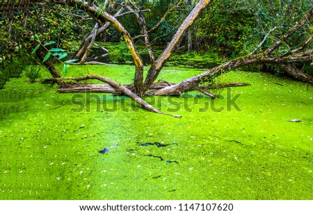 Swamp duckweed green water tree view. Forest swamp duckweed water view. Swam forest tree in duckweed water scene