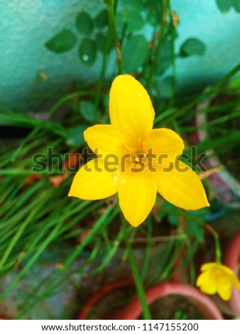 The Monsoon rain drops on the Yellow flower. Abstract background of Yellow and green color. Texture.  #1147155200