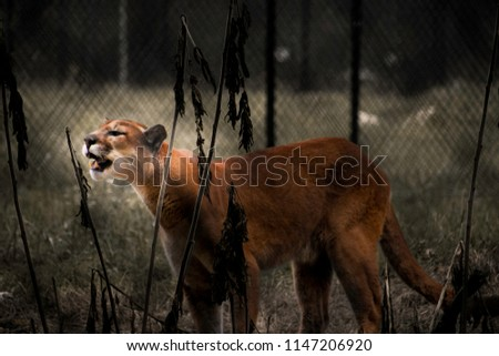 This is a picture of a cougar in a zoo.
