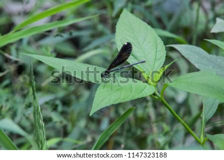 A female Ebony Jewelwing Damselfly sitting on a Leaf in a forest #1147323188