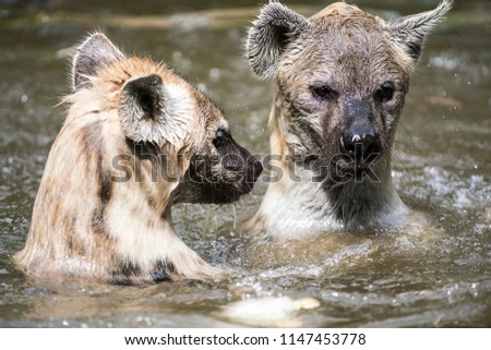 in the water there are two Hyena's playing and enjoying their dive #1147453778