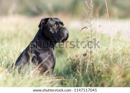 Portrait of stern Italian cane Corso sitting in the green lawn and looking to the distance #1147517045