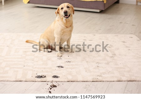 Cute dog leaving muddy paw prints on carpet #1147569923