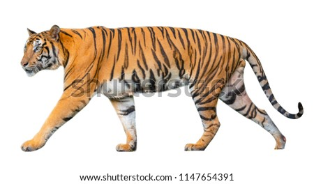 tiger isolated on white background clipping path included. #1147654391
