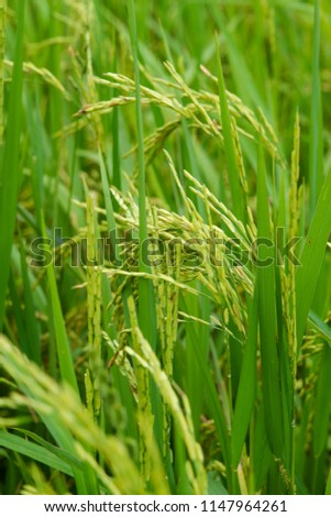 Food of asian people, Rice in the green field waiting for harvest Thailand #1147964261