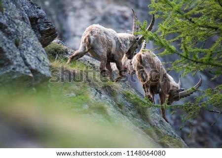 Alpine ibex (Capra ibex) males fighting #1148064080