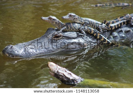 mother alligator with babies riding on her head in water #1148113058