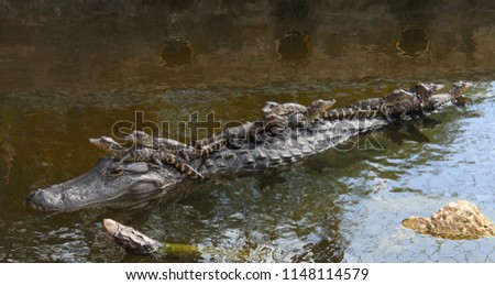 american alligator mother with 9 babies riding on her back in the canal #1148114579