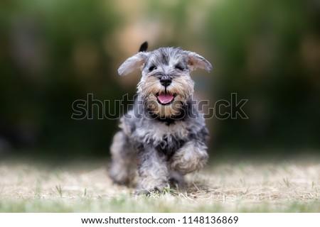 Miniature puppy Schnauzer at Play #1148136869