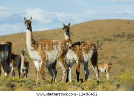 Guanaco (lama guanicoe) in Patagonia, Southern Argentina. #11486452