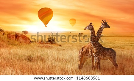 Giraffes in the African savanna against the background of the orange sunset. Flight of a balloon in the sky above the savanna. Africa. Tanzania. #1148688581