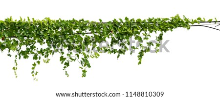 vine plant climbing isolated on white background with clipping path included. #1148810309