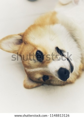 Selective focused on face of Corgi (dog breed) and adjusted like light drawing picture