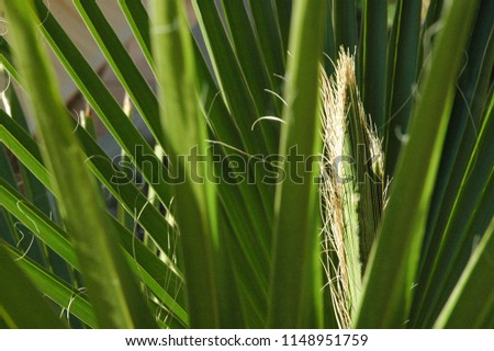 Palm leaves in the province of Alicante, Costa Blanca, Spain #1148951759
