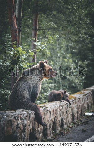 Wild bear sitting on rock while looking at camera  #1149071576