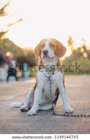 Beagle dog  sit and waiting #1149144743