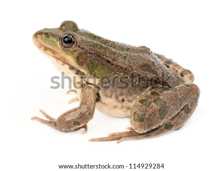 Green frog isolated #114929284