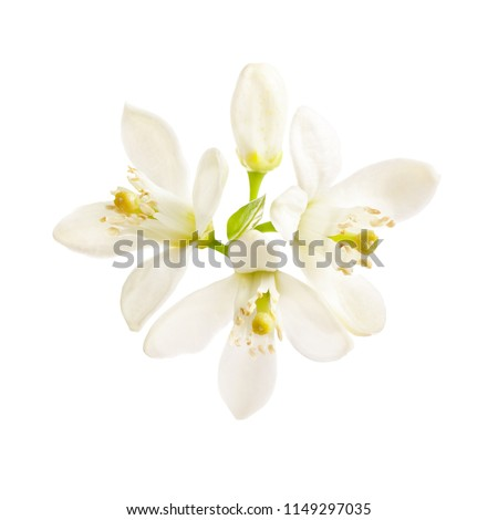 flowering citrus. Spring. white fresh orange tree flowers  isolated on white background #1149297035