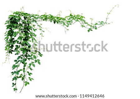 Bush grape or three-leaved wild vine cayratia (Cayratia trifolia) liana ivy plant bush, nature frame jungle border isolated on white background, clipping path included.  #1149412646