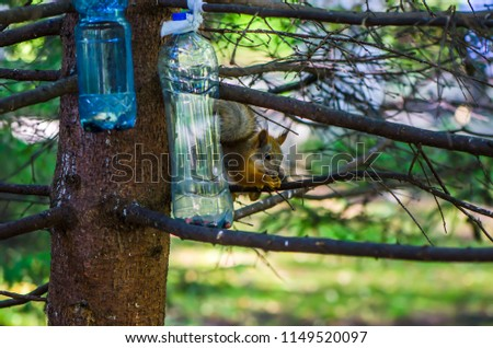 red squirrel in summer #1149520097