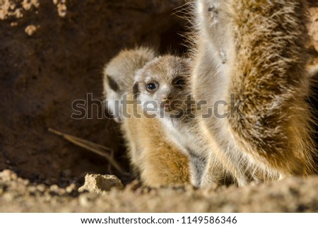 Meerkat or suricate (Suricata suricatta) adult and pup (juvenile). Kalahari. Northern Cape. South Africa. #1149586346