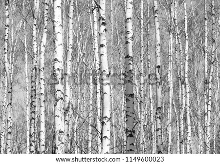 Black and white photo of black and white birches in birch grove with birch bark between other birches #1149600023
