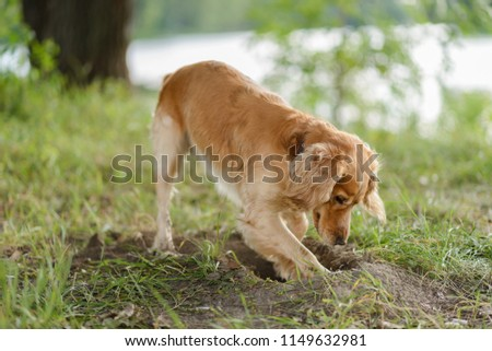 Cocker Spaniel dig a hole in the ground #1149632981