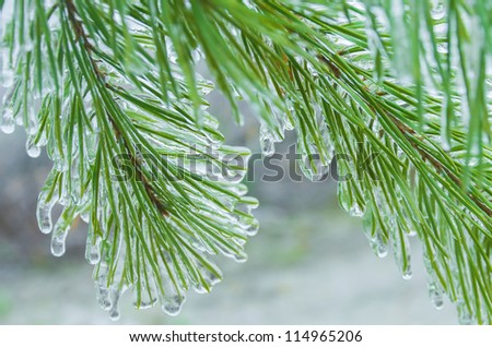 The branch of a Christmas tree covered with ice #114965206