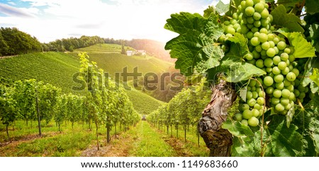 Vineyards with grapevine and winery along wine road in the evening sun, Austria Europe #1149683660