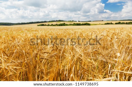 Field of barley in a summer day. Harvesting period. #1149738695