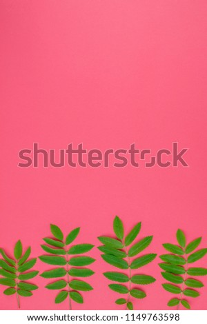 Creative flat lay top view pattern with fresh green rowan tree leaves on bright pink background with copy space in minimal duotone pop art style, frame template for text #1149763598