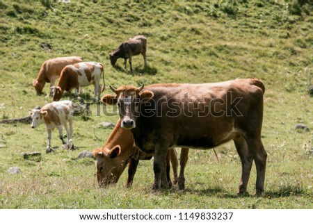 grazing animals in mountain landscape. Horses and cows on the banks of the rivers and among the rock. Huge amount of animals may be found in mountains.  #1149833237