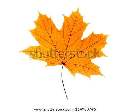Maple leaf isolated on white #114983746