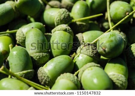 Acorns from an Oak Tree #1150147832