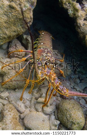 Lobster hidding in a crevace under water #1150221773
