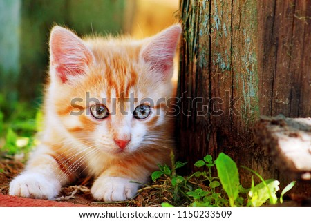 Cute little red kitten playing outdoor. Portrait of red kitten in forest or garden looking interesting. Tabby funny red kitten with blue eyes & white paws ready to jump at home farm. Animal baby theme #1150233509